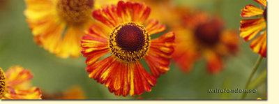 Orange blomma