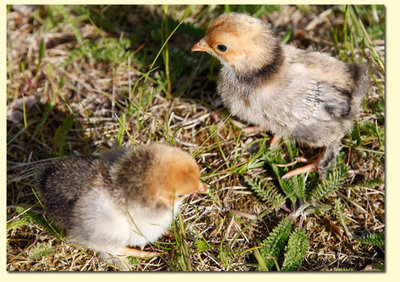 Kycklingarna