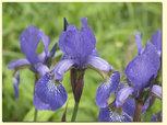 Iris blåa