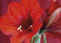 Rödaste röda amaryllisen